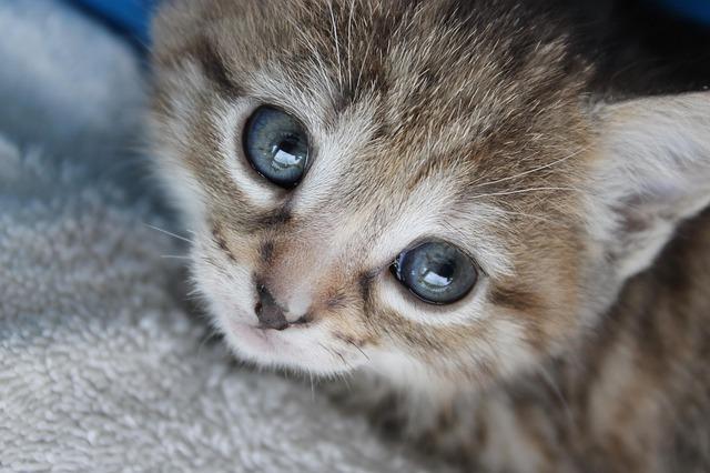 modrooké koťátko